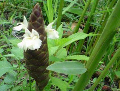 Имбирь касумунар
