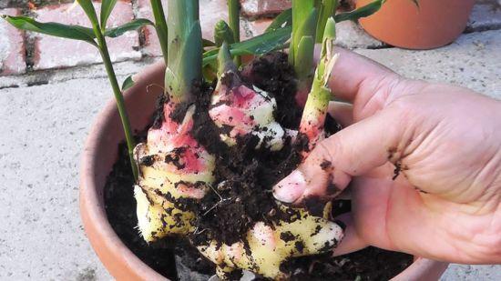 Выращивание имбиря на окне