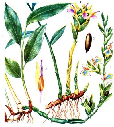 Внешний вид растения имбирь