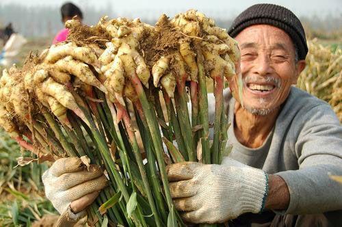 Сбор урожая имбиря