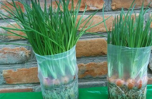 Выращивание лука в пакете