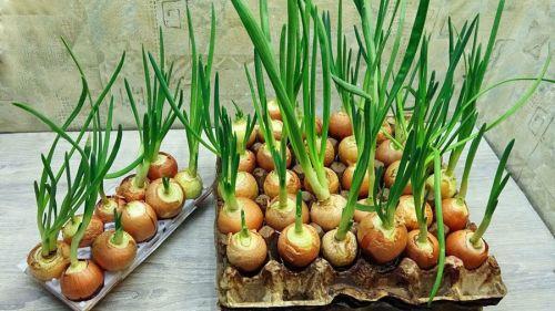 Выращивание лука в ячейках из-под яиц