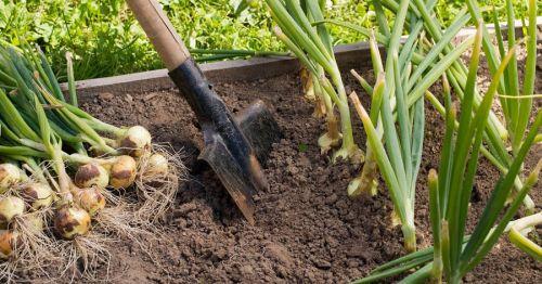 Выкапывание лука