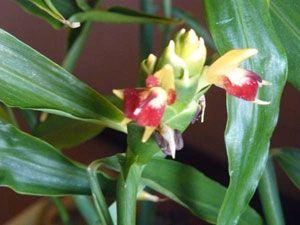 Цветы имбиря