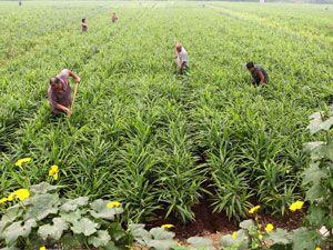 Выращивание имбиря на плантации