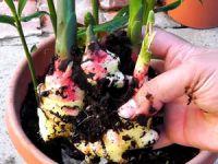 Выращивание имбиря в горшке